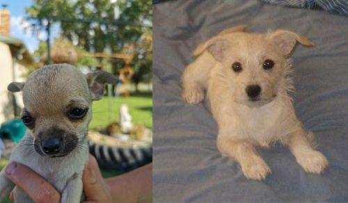Chihuahua vs Chipoo