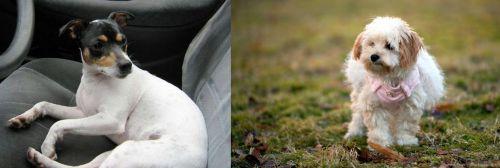 Chilean Fox Terrier vs West Highland White Terrier