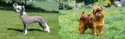 Chinese Crested Dog vs Brussels Griffon