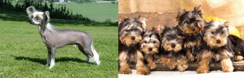 Chinese Crested Dog vs Yorkshire Terrier