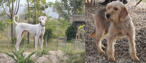 Chippiparai vs Bosnian Coarse-Haired Hound