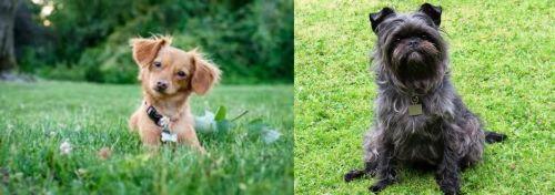 Chiweenie vs Affenpinscher