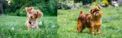 Chiweenie vs Brussels Griffon