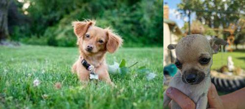 Chiweenie vs Chihuahua