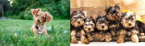 Chiweenie vs Yorkshire Terrier