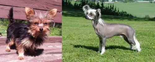 Chorkie vs Chinese Crested Dog