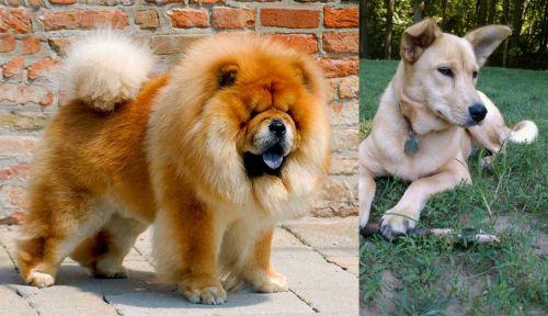 Chow Chow vs Carolina Dog