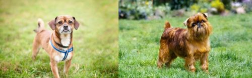 Chug vs Brussels Griffon