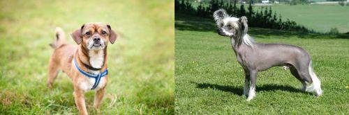 Chug vs Chinese Crested Dog