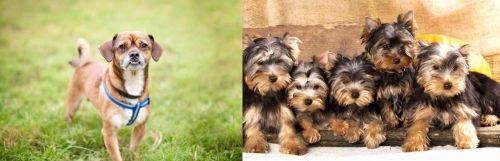Chug vs Yorkshire Terrier