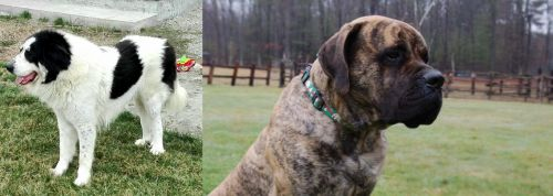 Ciobanesc de Bucovina vs American Mastiff