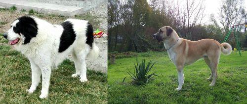 Ciobanesc de Bucovina vs Anatolian Shepherd