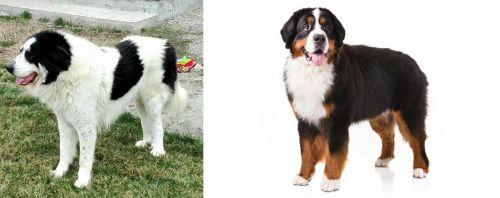 Ciobanesc de Bucovina vs Bernese Mountain Dog
