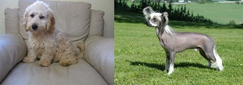 Cockachon vs Chinese Crested Dog