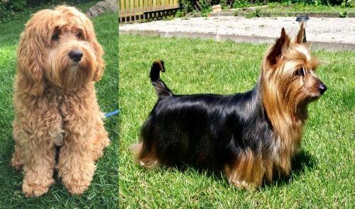Cockapoo vs Australian Silky Terrier