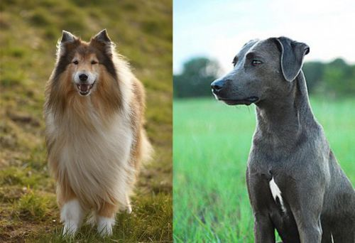 Collie vs Blue Lacy
