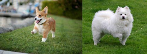 Corgi vs American Eskimo Dog