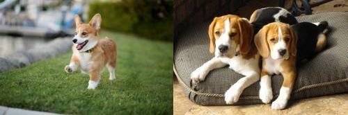 Corgi vs Beagle