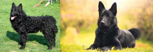 Croatian Sheepdog vs Black Norwegian Elkhound