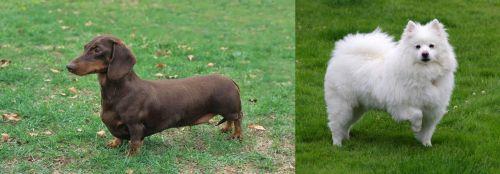 Dachshund vs American Eskimo Dog