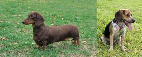 Dachshund vs Bluetick Beagle