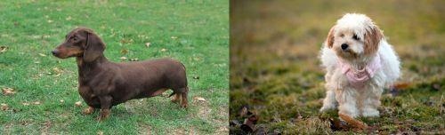 Dachshund vs West Highland White Terrier