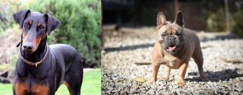 Doberman Pinscher vs French Bulldog