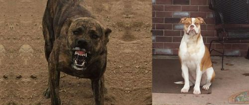 Dogo Sardesco vs Alapaha Blue Blood Bulldog