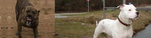Dogo Sardesco vs Antebellum Bulldog