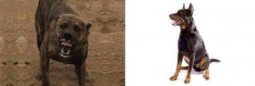 Dogo Sardesco vs Beauceron