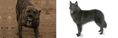 Dogo Sardesco vs Belgian Shepherd
