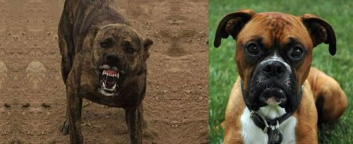 Dogo Sardesco vs Boxer