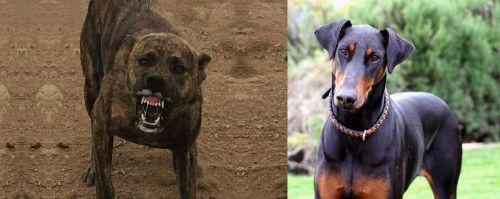 Dogo Sardesco vs Doberman Pinscher