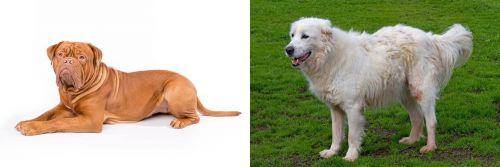 Dogue De Bordeaux vs Abruzzenhund