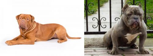 Dogue De Bordeaux vs American Bully