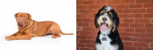 Dogue De Bordeaux vs Bernedoodle