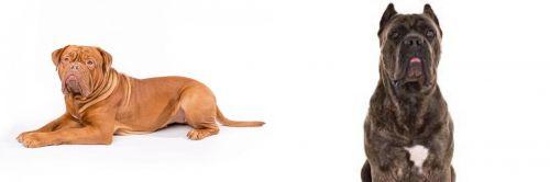 Dogue De Bordeaux vs Cane Corso
