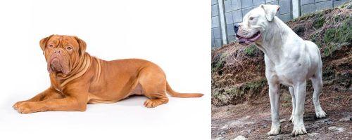 Dogue De Bordeaux vs Dogo Guatemalteco