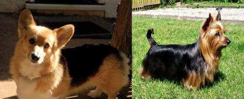 Dorgi vs Australian Silky Terrier