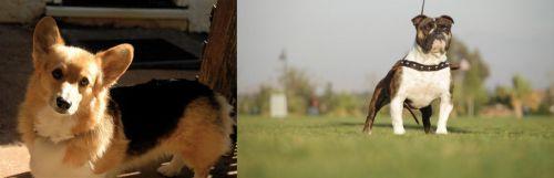 Dorgi vs Bantam Bulldog