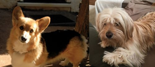 Dorgi vs Cyprus Poodle