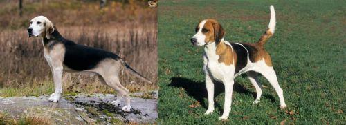 Dunker vs English Foxhound
