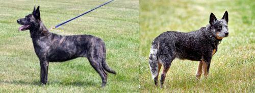 Dutch Shepherd vs Austrailian Blue Heeler