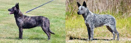 Dutch Shepherd vs Australian Stumpy Tail Cattle Dog