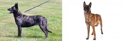 Dutch Shepherd vs Belgian Shepherd Dog (Malinois)