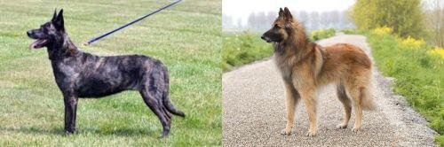 Dutch Shepherd vs Belgian Shepherd Dog (Tervuren)