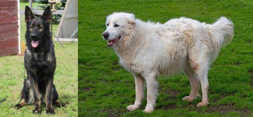 East German Shepherd vs Abruzzenhund