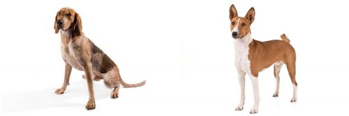 English Coonhound vs Basenji