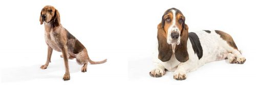English Coonhound vs Basset Hound
