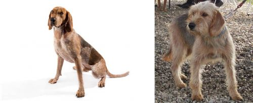 English Coonhound vs Bosnian Coarse-Haired Hound